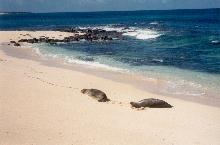 Monk Seals on Niihau
